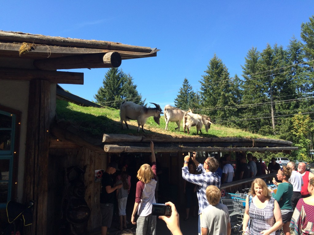 Goats on the roof in Coombs B.C, Vancouver Island