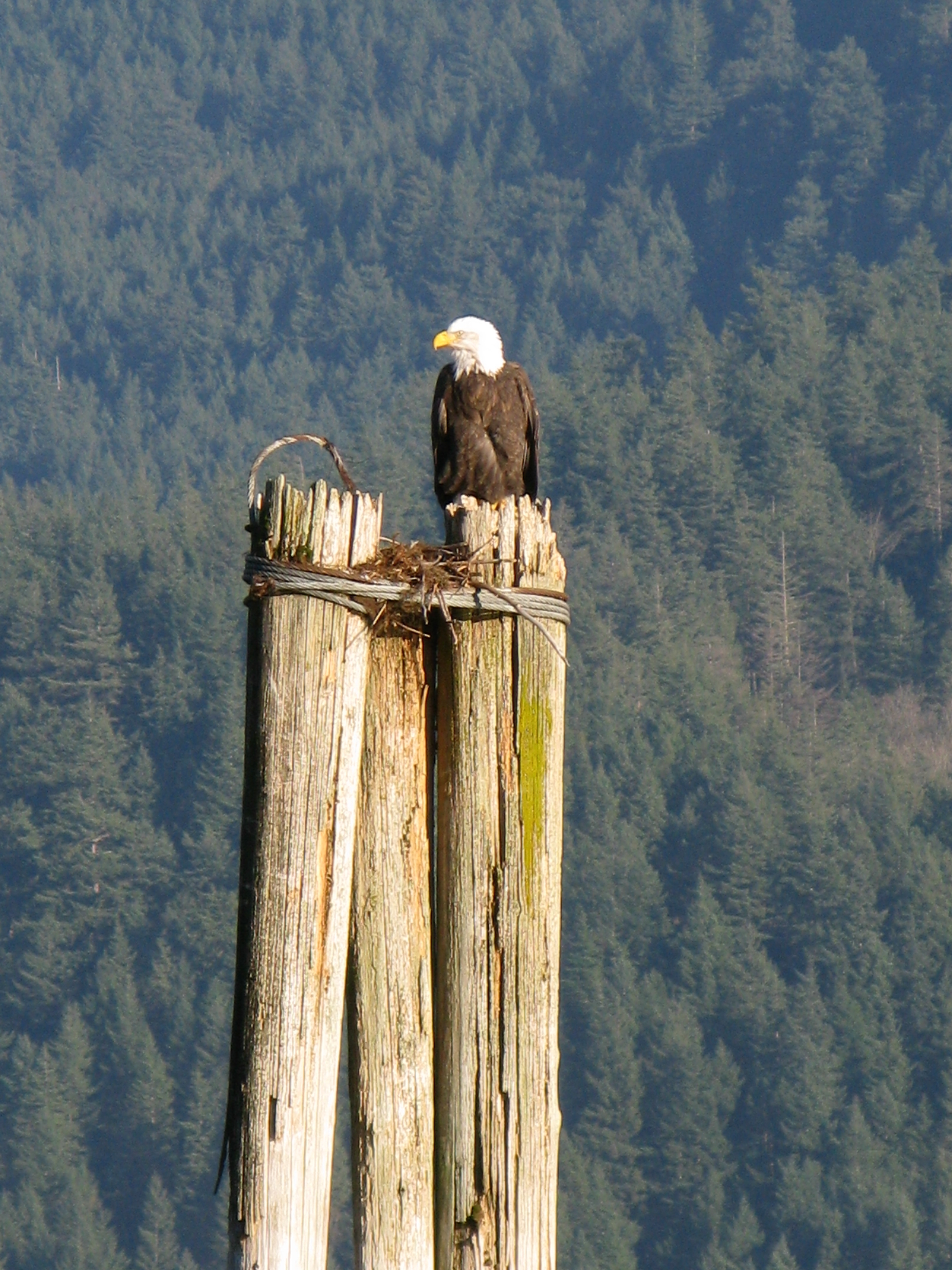 A Bald Eagle Takes Flight During The Fraser Valley Festival In Chehalis