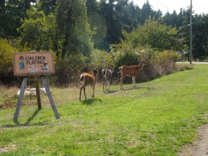 Deer wandering wherever they please on Mayne Island