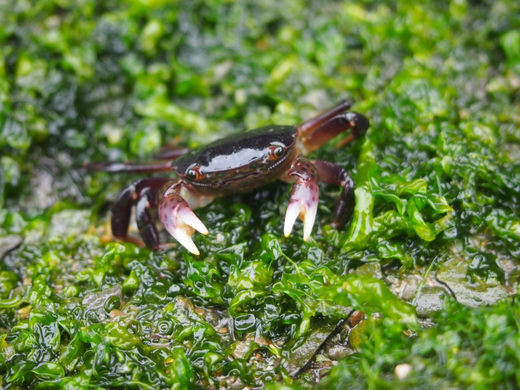 Adorable little crab on the beach on Mayne Island BC
