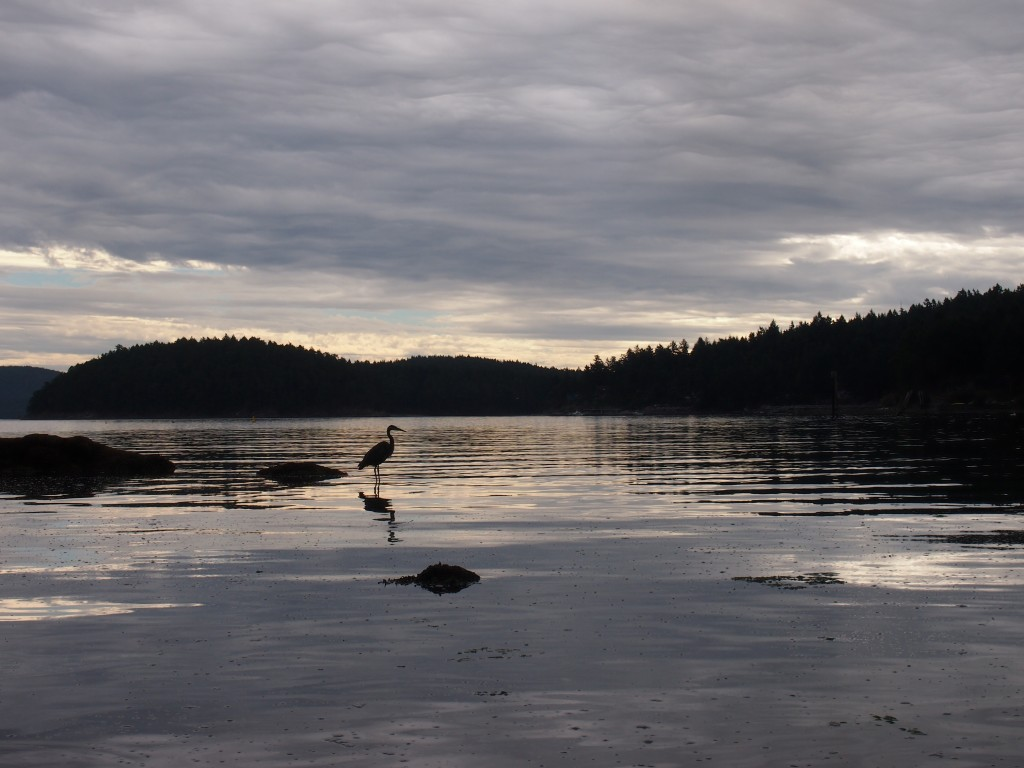 A heron posing for the photograph on Mayne Island BC