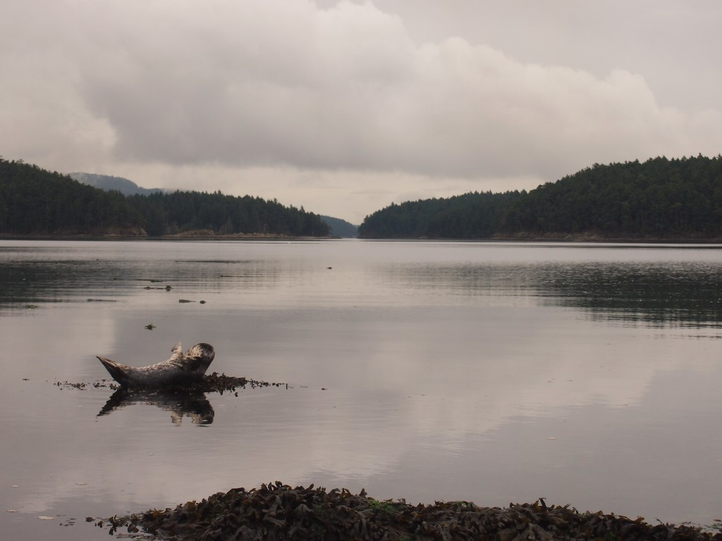 A young seal resting off of Mayne Island