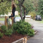 Helping the deer to get apples from the tree, Mayne Island BC