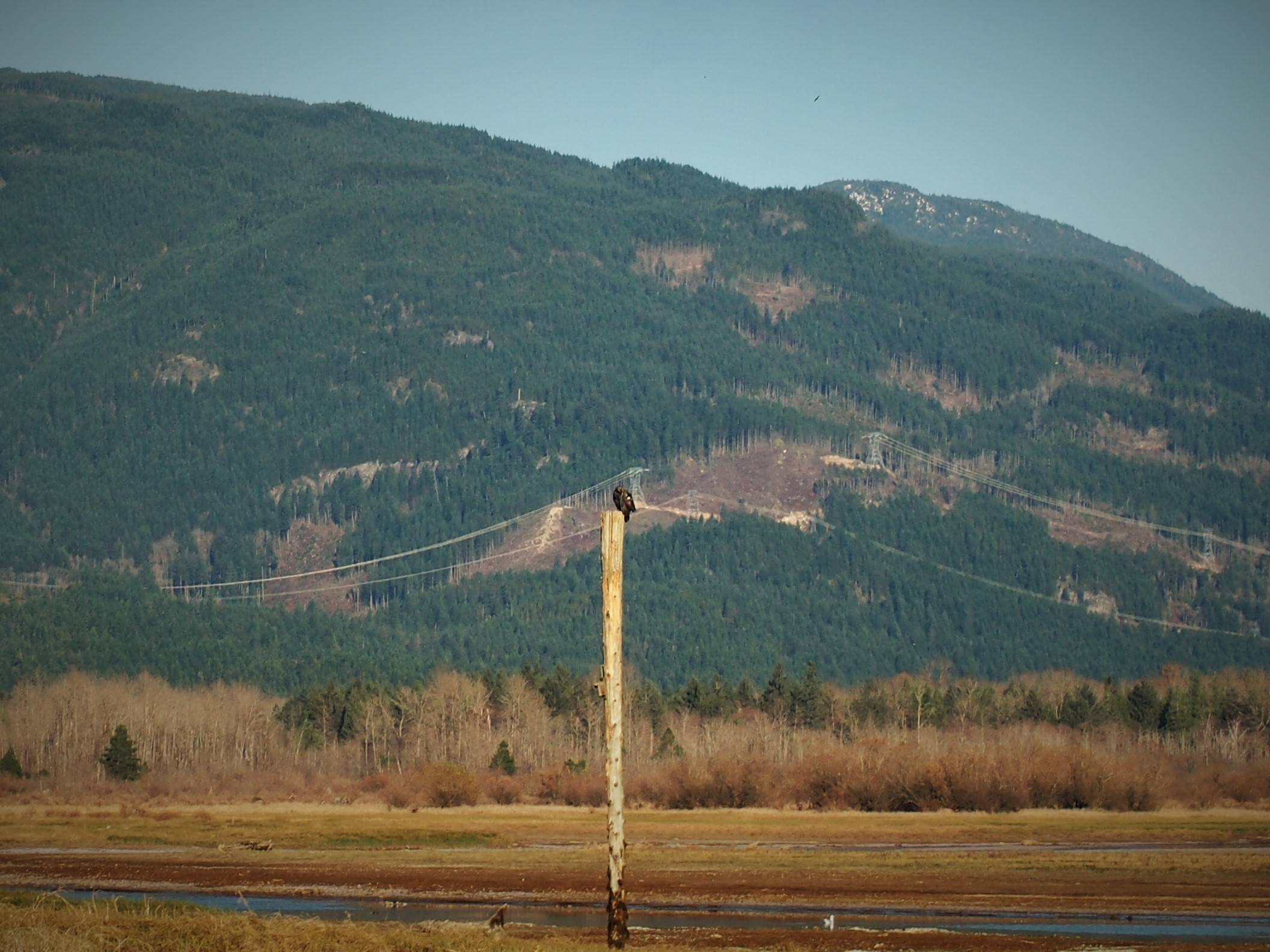 Bald Eagles At The Chehalis Flats In Harrison Mills