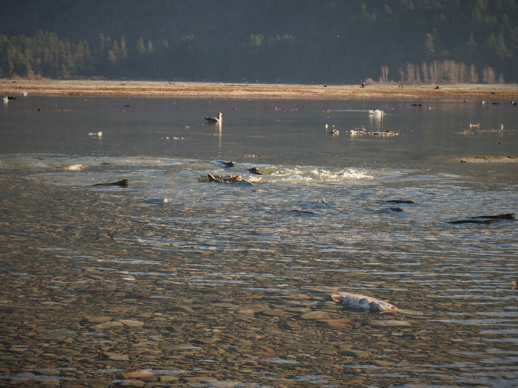 Dying salmon at the Chehalis Flats in Harrison Mills BC
