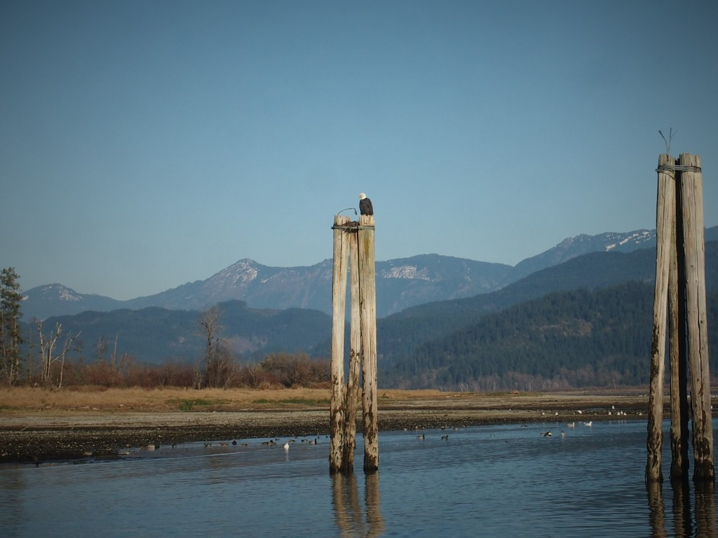 Bald eagle in the Chehalis Flats in Harrison Mills BC