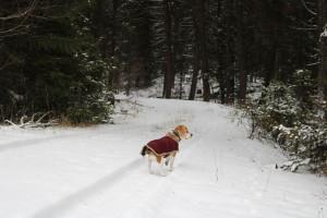 The beagle enjoying the wander around Phoenix BC