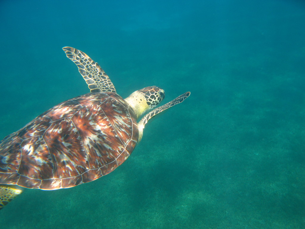 Swimming with turtles while snorkeling in Guadeloupe