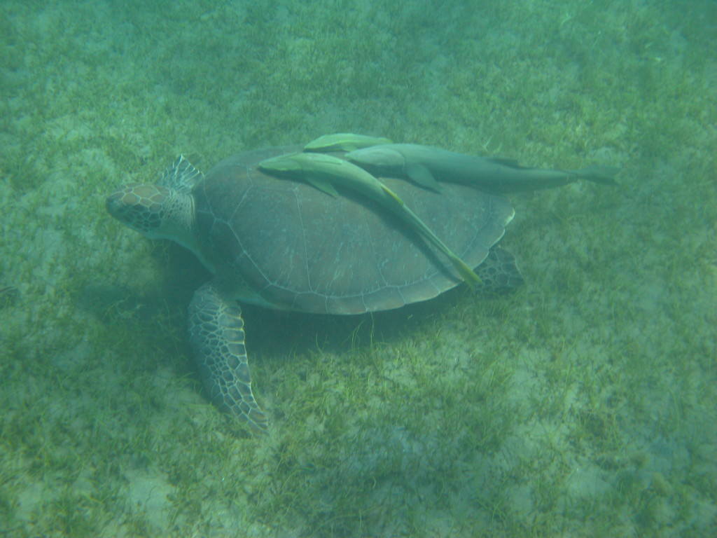 Turtles and suckers while snorkeling in Guadeloupe