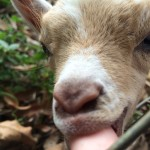 Baby goat in Guadeloupe