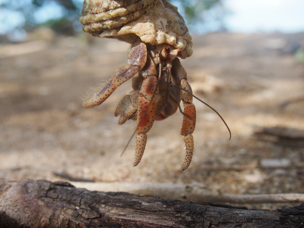 Hermit crab on the beach in Guadeloupe