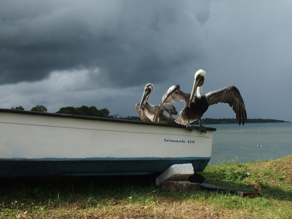 Pelicans in Sainte Rose Guadeloupe