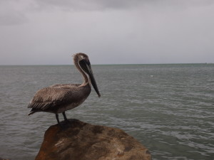 Pelican in Sainte Rose Guadeloupe