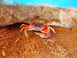 Crab in the sand in Guadeloupe