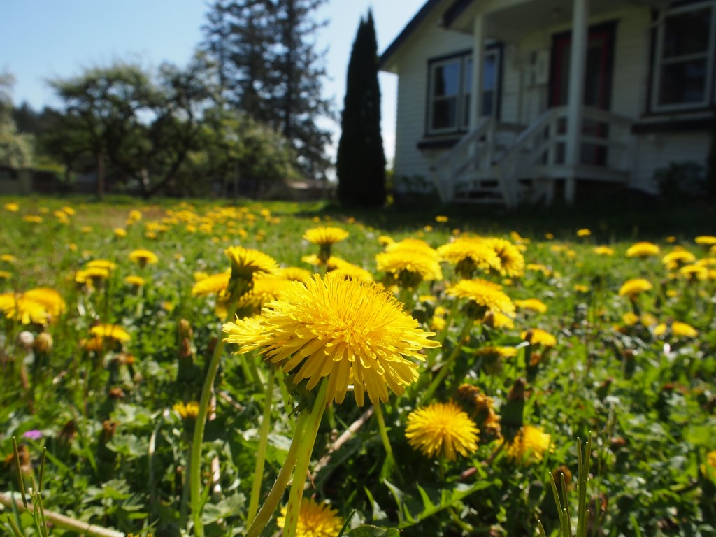 Dandelion to be picked for dandelion jelly