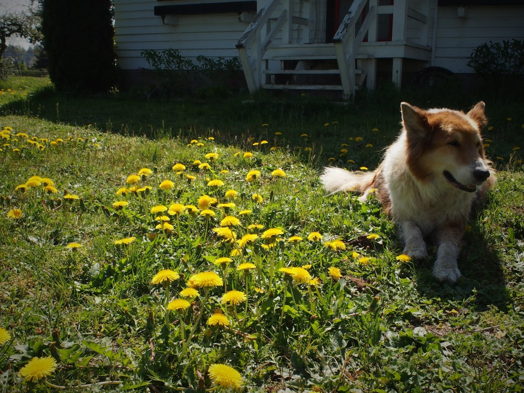 The beast helping out to pick dandelions for jelly