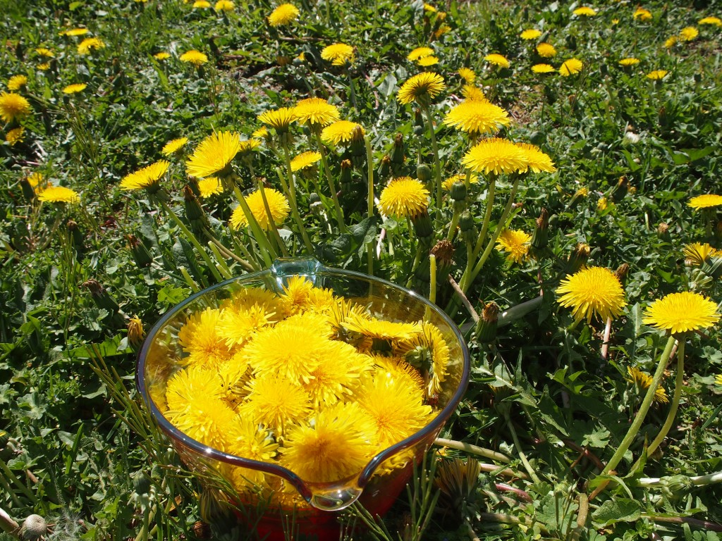 Picked dandelions to make jelly