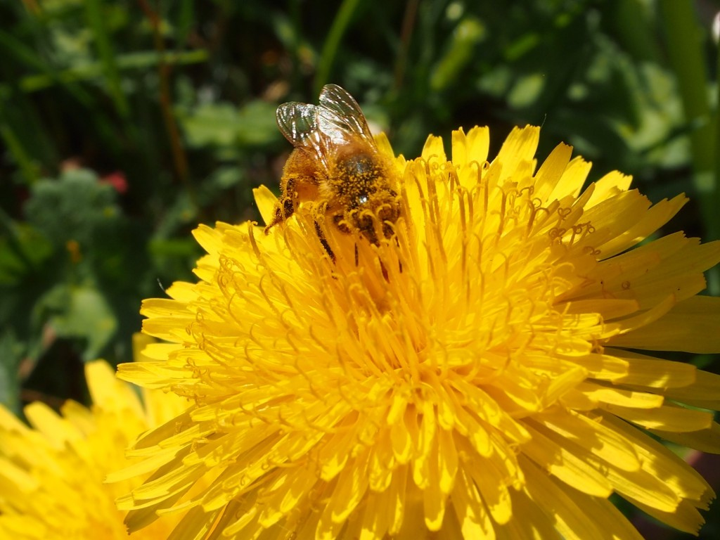 Bees doing their thing while we picked blossoms for dandelion jelly