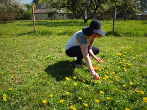 Hand picking dandelions to make jelly