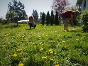 Picking Dandelions to make Dandelion Jelly
