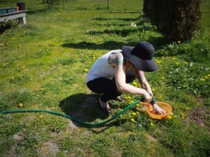 Washing the dandelion blossoms to make jelly