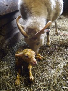 A new lamb on a sheep farm in Iceland
