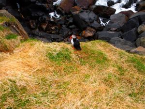 Puffins in Borgarfjordur, north Iceland on my road trip