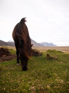 Icelandic horses in east Iceland on my road trip