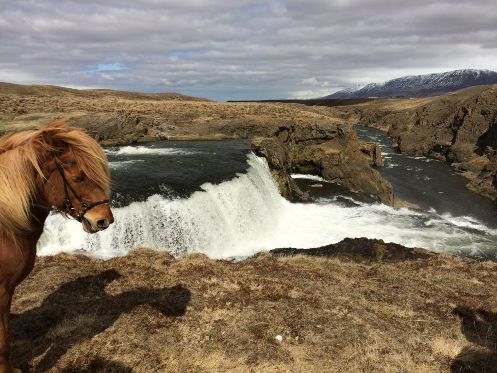 Riding in horses in Skagafjordur Iceland