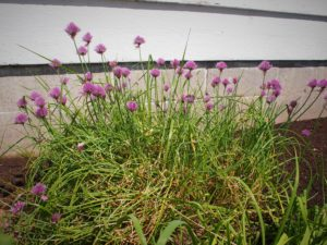 Chive blossoms waiting to be snipped for vinegar