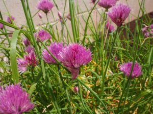 Chive blossoms for the vinegar