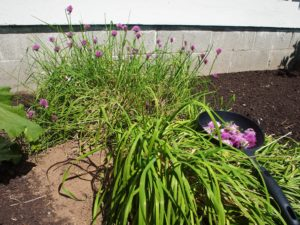 Cutting chive blossoms for vinegar