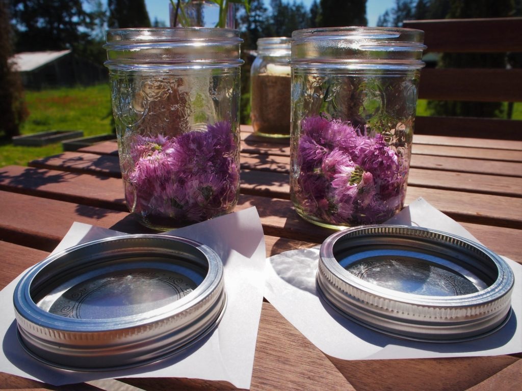 Packing the chive blossoms into the mason jars for vinegar