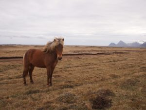 Icelandic horse in east Iceland on my road trip