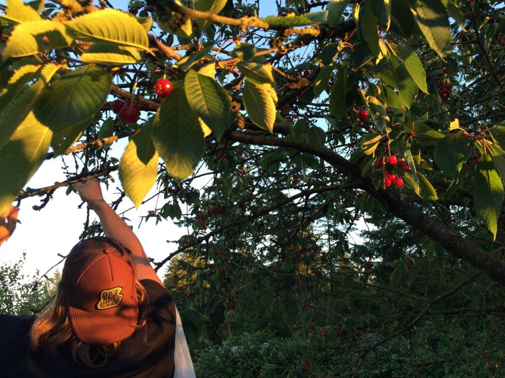 Picking cherries from the tree to make cherry rhubarb jam