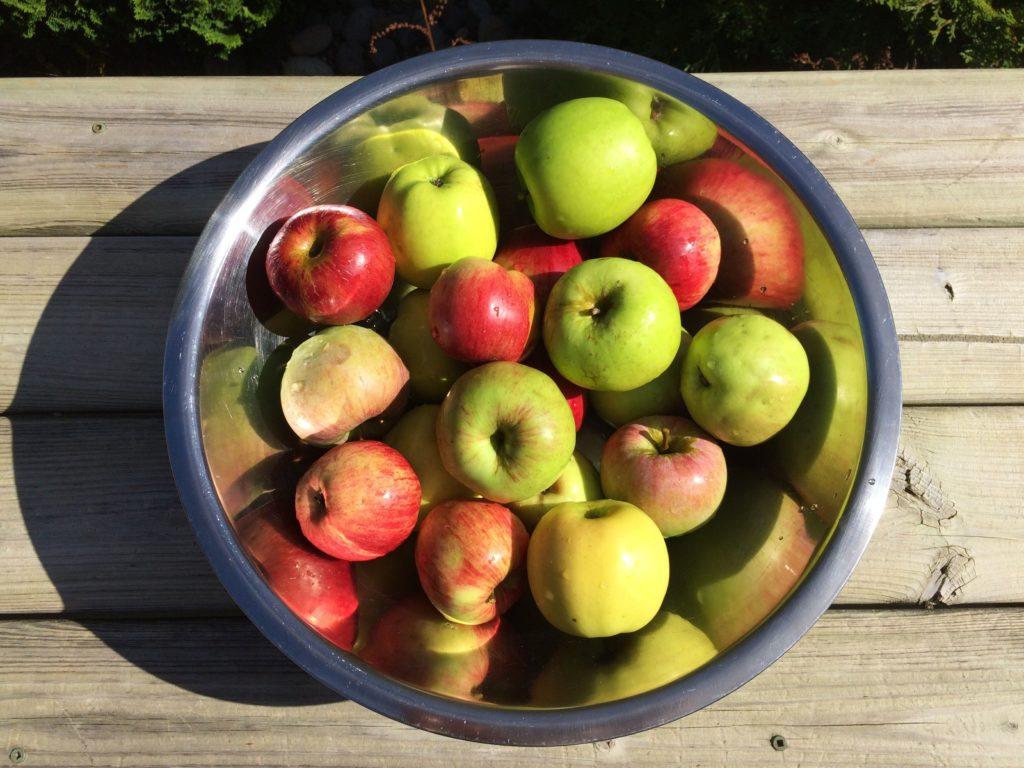 Collection of apples to make sugar free applesauce