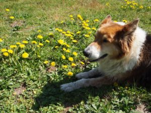 The beast helping us pick dandelions for dandelion wine