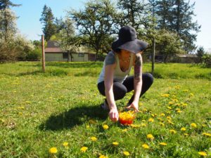 Picking dandelions for homemade dandelion wine