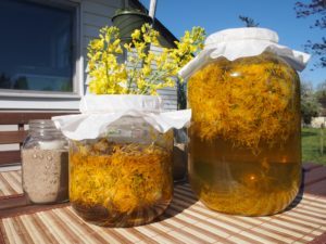 steeping the petals to make homemade dandelion wine