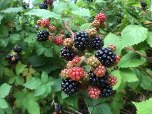 Picking blackberries to make homemade blackberry basil jam